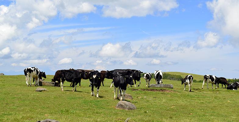 自然の環境で育っていている牛